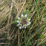 Scurvy Grass