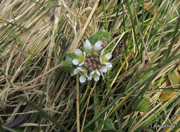 Wild Irish scurvy grass