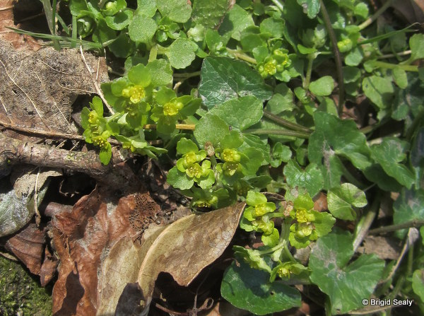Opposite- leaved Golden Saxifrage