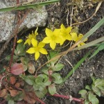 Yellow Pimpernel