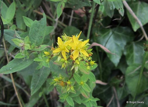 Square-stalked St. John's-wort Hypericum tetrapterum