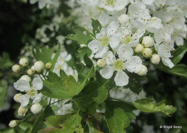 Hawthorn, Whitethorn, May tree