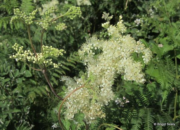 Meadowsweet Filipendula ulmaria