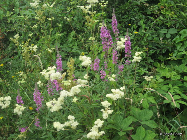 meadowsweet and purple loosestrife growing in Hedgerow