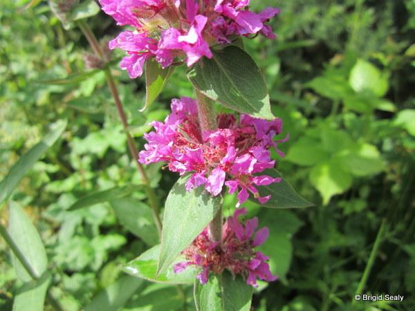 purple loosestrife Lythrum salicaria