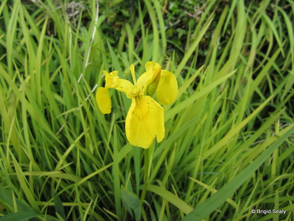 Yellow Iris / Yellow Flag Iris pseudacorus