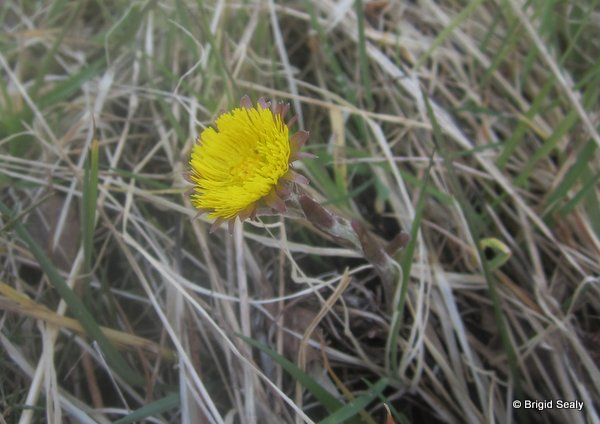 Colt's-foot Tussilago farfara Ieland Irish Wild flower connemara galway