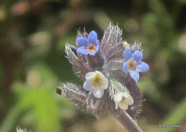 Changing Forget-me-not  Myosotis discolor wild flower connemara galway ireland irish british britain