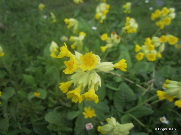 Cowslip Primula veris, wildflower, flower, Connemara, Ireland, Galway, Britain, Irish, British,