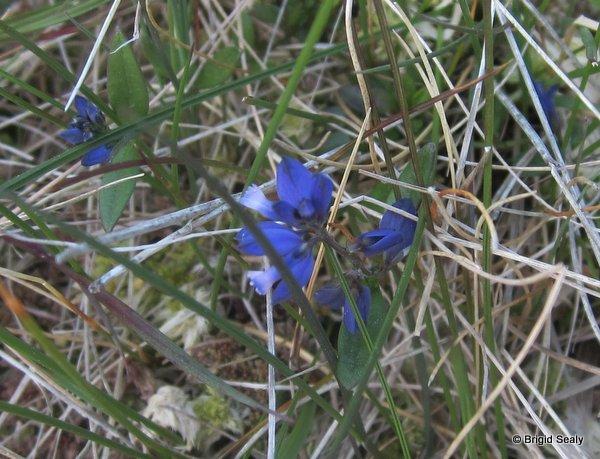 milkwort Polygala serpyllifolia wildflower, flower, Connemara, Ireland, Galway, Britain, Irish, British,