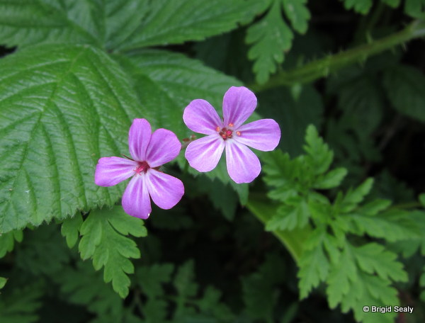 Herb-Robert, Geranium robertianum,  wildflower, flower, Connemara, Ireland, Galway, Britain, Irish, British,