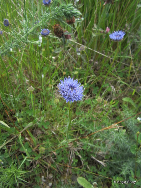 Sheeps-bit, sheep's bit,  Jasione montana, wildflower, flower, Connemara, Ireland, Galway, Britain, Irish, British,