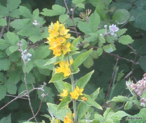 Dotted Loosestrife, Lysimachia punctata Irish Wildflower identification