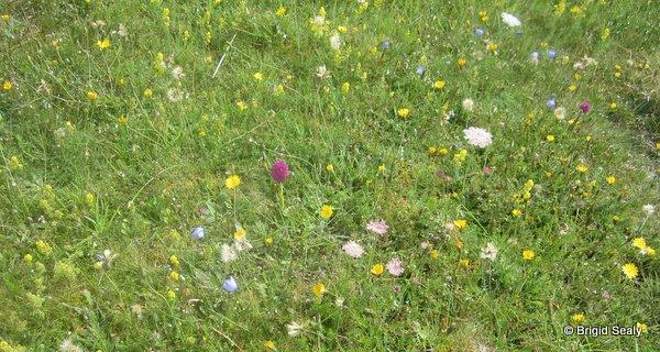 machair west of ireland habitat wild flowers