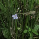 Marsh Speedwell