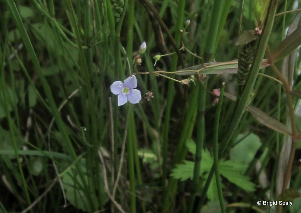 Marsh Speedwell  Veronica scutellata wildflower, flower, Connemara, Ireland, Galway, Britain, Irish, British,
