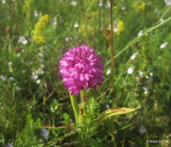 Pyramidal Orchid  Anacamptis pyramidalis wildflower, flower, Connemara, Ireland, Galway, Britain, Irish, British,