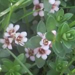 Sea Milkwort