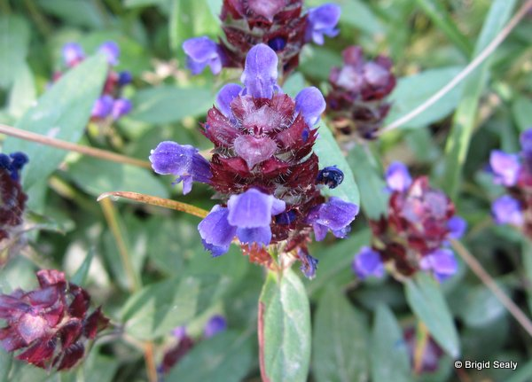 Selfheal Prunella vulgaris wildflower, flower, Connemara, Ireland, Galway, Britain, Irish, British,