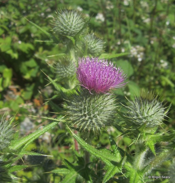 Spear Thistle  Cirsium vulgare wildflower, flower, Connemara, Ireland, Galway, Britain, Irish, British,