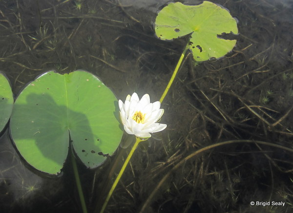 water lily, white, White Water-lily,Nymphaea alba wildflower, flower, Connemara, Ireland, Galway, Britain, Irish, British,