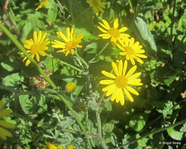 Ragwort wild flower